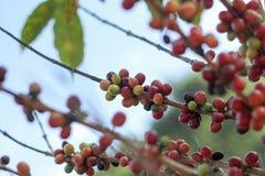 Feijões de café na árvore no norte de Tailândia Foto de Stock Royalty Free
