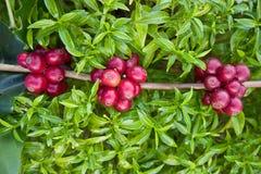 Feijões de café que amadurecem Foto de Stock