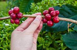 Feijões de café que amadurecem Imagens de Stock Royalty Free