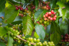Feijões de café que amadurecem na árvore no norte de Tailândia Imagem de Stock Royalty Free