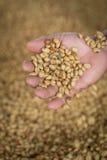 feijões de café secados crus frescos disponível e backgr cru dos feijões de café Imagem de Stock