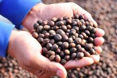 Feijões de café secados das bagas nas mãos Foto de Stock
