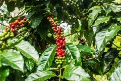 Feijões de café verdes e maduros ainda na árvore de café Fotos de Stock