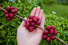 Feijões de café vermelhos das bagas na mão do agricultor Fotos de Stock Royalty Free