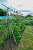 Feijões de corredor que crescem acima bastões na atribuição Imagens de Stock Royalty Free