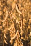 Feijões de soja Fotos de Stock