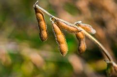 Feijões de soja dos feijões de campo no outono adiantado Fotografia de Stock Royalty Free