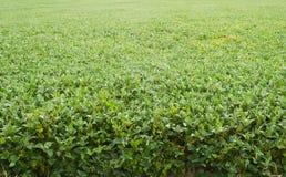 Feijões de soja horizontais Fotos de Stock