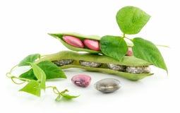 Feijões maduros do Haricot com a semente e as folhas isoladas Fotos de Stock Royalty Free