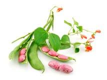 Feijões maduros do Haricot com a semente e a flor isoladas Foto de Stock
