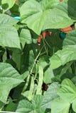 Feijões, verde que cresce na videira Foto de Stock