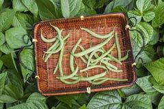Feijões verdes do jardim Home imagens de stock