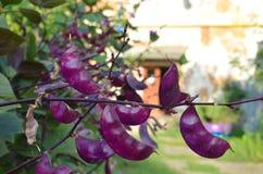 Feijões verdes roxos da herança especial Imagem de Stock