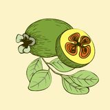 Feijoa fruits and branch with leaves royalty free illustration