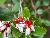 Feijoa drzewny kwiat fotografia royalty free