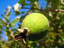 Feijoa fruit on a branch close-up. Feijoa fruit on a branch in the sunlight close up stock image