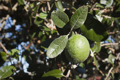 Feijoa fruit on tree Royalty Free Stock Photo