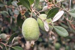 Feijoa ny frukt på att växa för träd Acca Sellowiana tropisk frukt arkivfoto