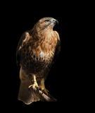 Feilbieten Sie den Adler, der an der Sonne sitzt, die am Schwarzen lokalisiert wird Lizenzfreies Stockbild