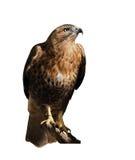 Feilbieten Sie den Adler, der an der Sonne sitzt, die am Weiß lokalisiert wird Stockfotos