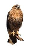Feilbieten Sie den Adler, der an der Sonne sitzt, die am Weiß lokalisiert wird Lizenzfreies Stockfoto