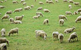 Sheep Farm New Zealand Stock Images