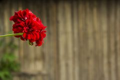 Fein kleine rote Blume lizenzfreies stockbild