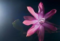 Feine rosafarbene Blume Stockbild