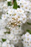 Feine weiße Blumen Stockbild