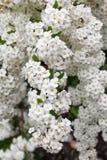 Feine weiße Blumen Lizenzfreie Stockfotografie