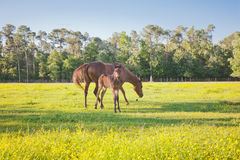 Feisty Foal and Mare. A feisty young foal stands ready to protect its mother Stock Image