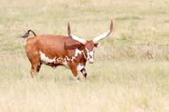 Feisty Longhorn cow. Longhorn cow flipping tail in arid field of grass Stock Photography