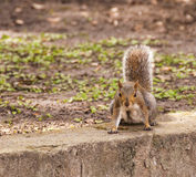 Feisty Squirrel Stock Photo