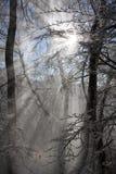 Feixe das raias na floresta do inverno fotografia de stock royalty free