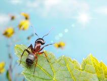 Feixe de travamento do sol da formiga do jardim Imagem de Stock Royalty Free