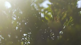 Feixes através da árvore das coníferas, raios de Sun do brilho claro nos ramos do abeto vermelho lentos filme