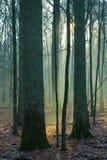 Feixes da floresta entrando do ligth Imagens de Stock Royalty Free