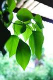 Feixes de Sun e folhas do verde com dom transparente imagens de stock royalty free