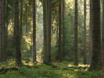 Feixes luminosos na floresta fotos de stock