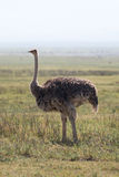 Felame ostrich Stock Photo