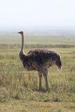 Felame ostrich Stock Photo