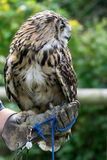 FELBRIDGE, SURREY/UK - AUGUST 23 : Eurasian Eagle-Owl (Bubo bubo Royalty Free Stock Photo
