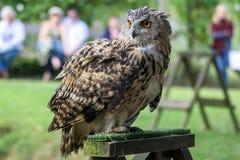 FELBRIDGE, SURREY/UK - AUGUST 23 : Eurasian Eagle-Owl (Bubo bubo Royalty Free Stock Photography