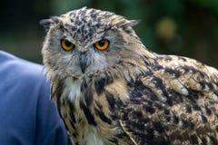FELBRIDGE, SURREY/UK - AUGUST 23 : Eurasian Eagle-Owl (Bubo bubo Stock Image