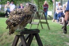 FELBRIDGE, SURREY/UK - 23 AUGUSTUS: Europees-Aziatische Eagle-Uil (Bubo-bubo royalty-vrije stock afbeelding