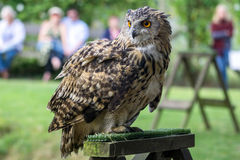 FELBRIDGE, SURREY/UK - 23 AUGUSTUS: Europees-Aziatische Eagle-Uil (Bubo-bubo royalty-vrije stock fotografie