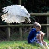 FELBRIDGE, SURREY/UK - 23 AUGUSTUS: Sneeuwuil (Bubo-scandiacus) a royalty-vrije stock foto