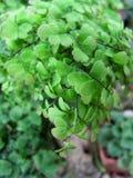 Felce bicolore verde Fotografia Stock Libera da Diritti