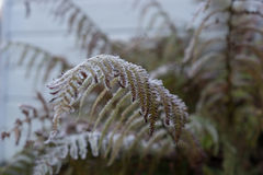 Felce congelata Fotografia Stock Libera da Diritti