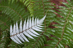 Felce d'argento Nuova Zelanda Fotografie Stock